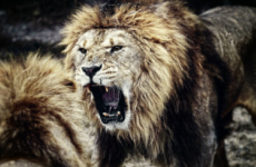 lions fighting fotolia px230x150 for gc