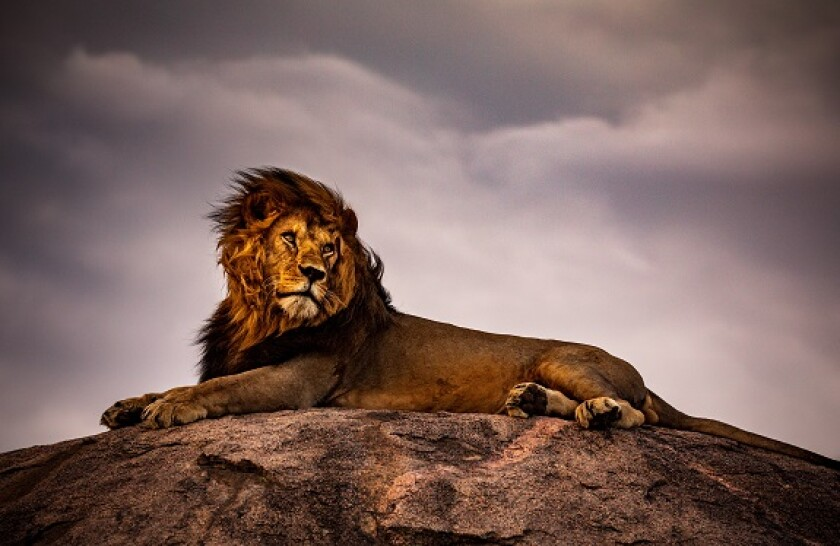 lion adobe 575