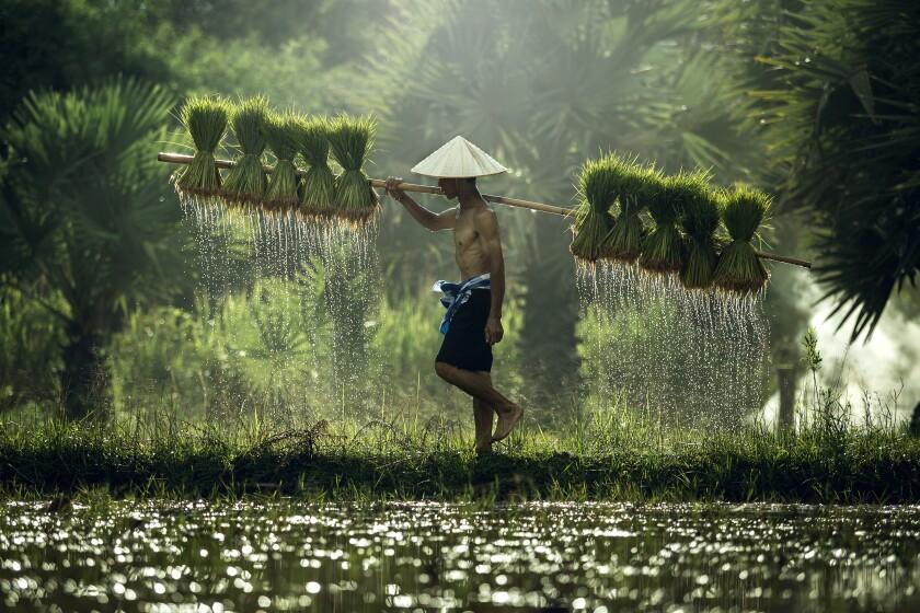 Vietnam rice green
