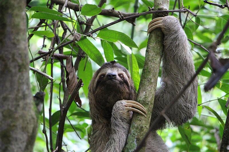costa rica sloth 780