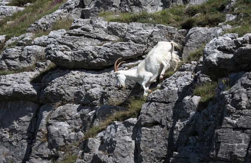 goat_alamy_575x375