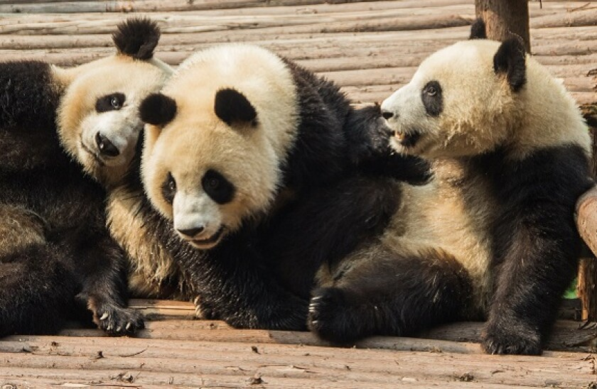 three pandas_adobe_575px_2Mar21
