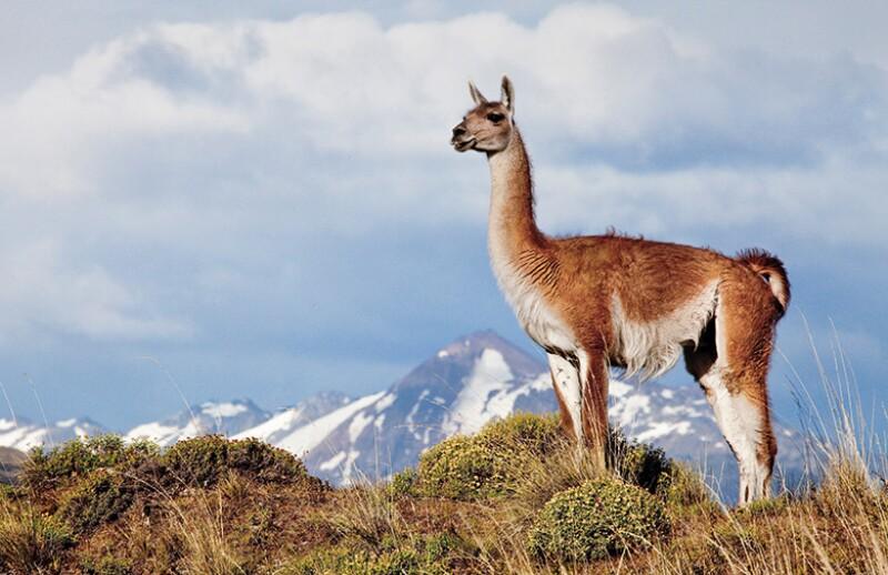 Guanaco-at-Patagonia-Park-780.jpg