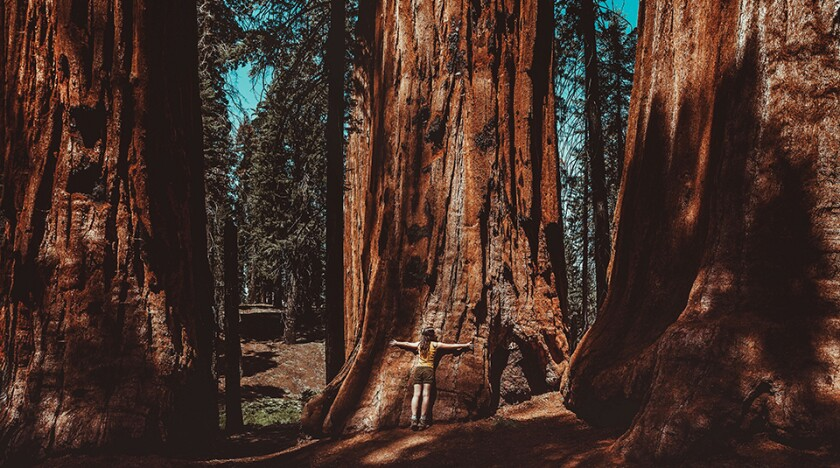 Woman hugging a giant sequoia in the forest. Sequoia