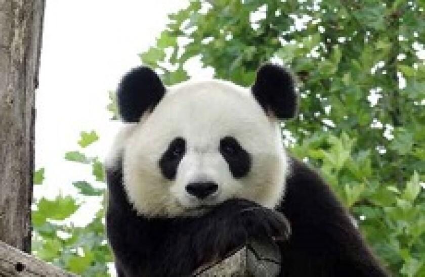 panda watching you px230