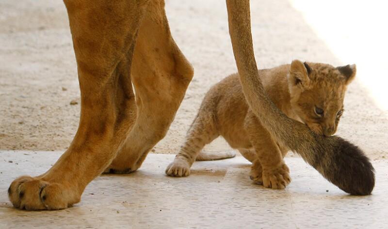 Lion-cub-R-780