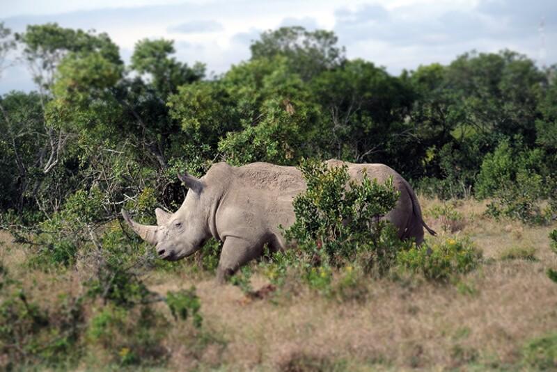 Black rhino_780