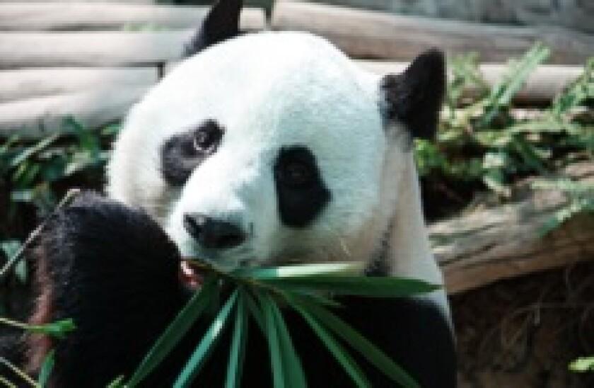 Panda_bamboo_230px