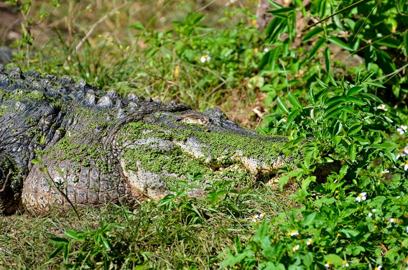 alligator-hidden-free-960.jpg
