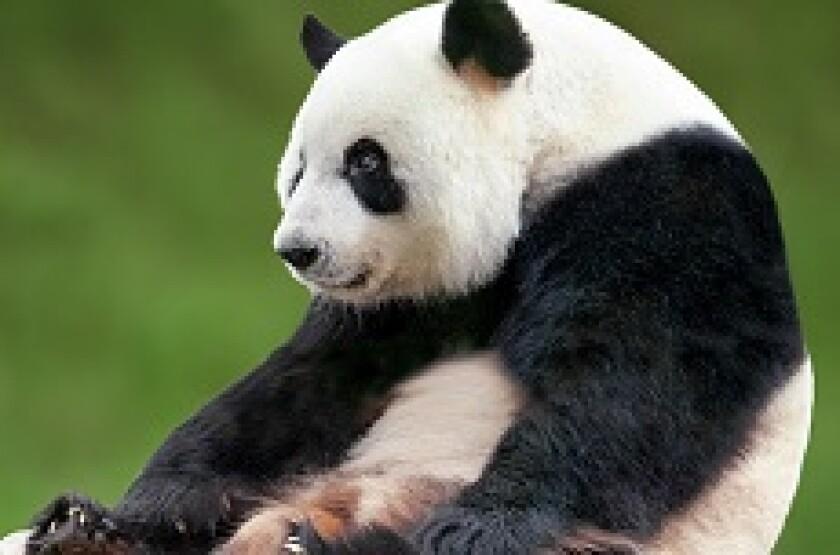 panda_sitting_230p