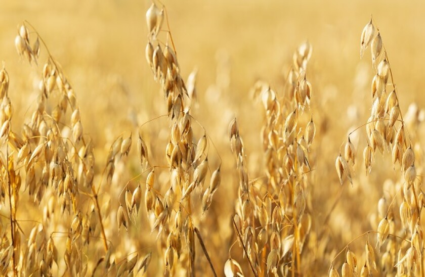 Oats field agriculture from Adobe 13Jul20 575x375