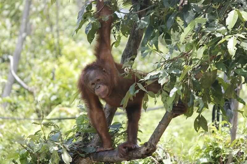 orangutan_780