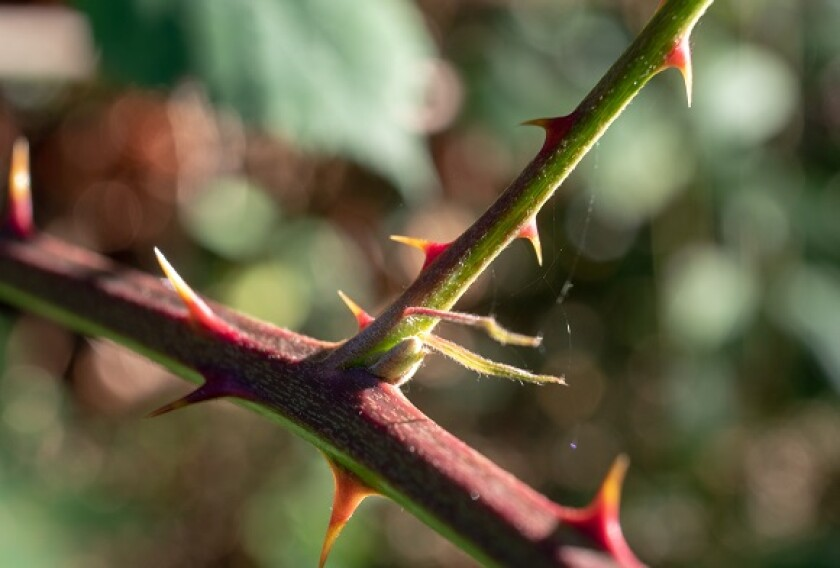 Rose thorns from Adobe 4Sep20 575x375
