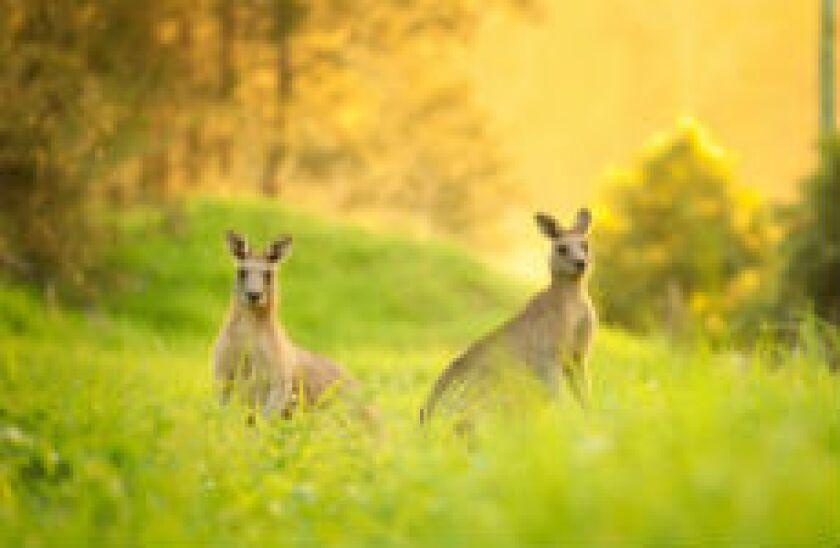 kangarooz_fotolia_230x150