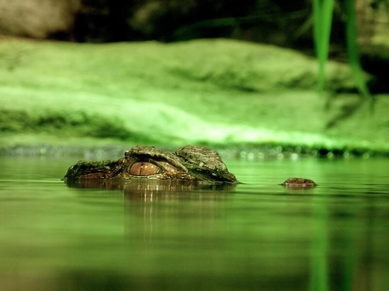 crocodile-eyes-danger-780