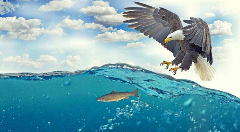 white-tailed-eagle-predator-780