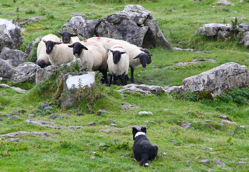sheepdog-round-up-pen-780.jpg