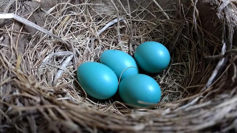 eggs-nest-robin-780