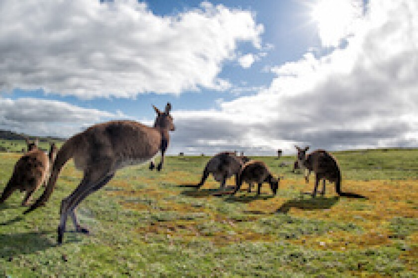 Cabei, Kangaroo, Australia, LatAm