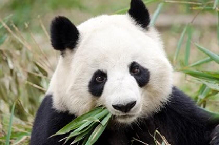Panda eating bamboo shoots from Adobe 230x150