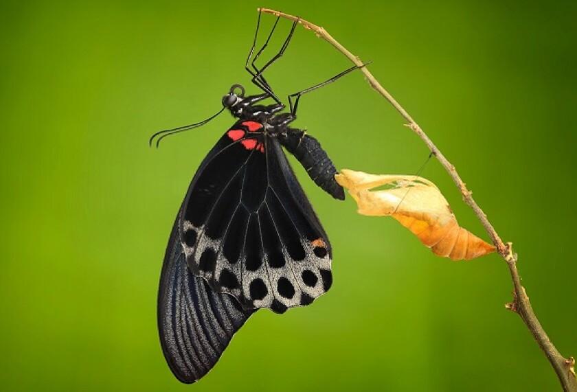 Butterfly chrysalis metamorphosis from Alamy 8Jul21 575x375