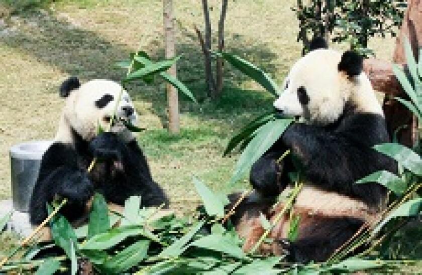 two pandas px230