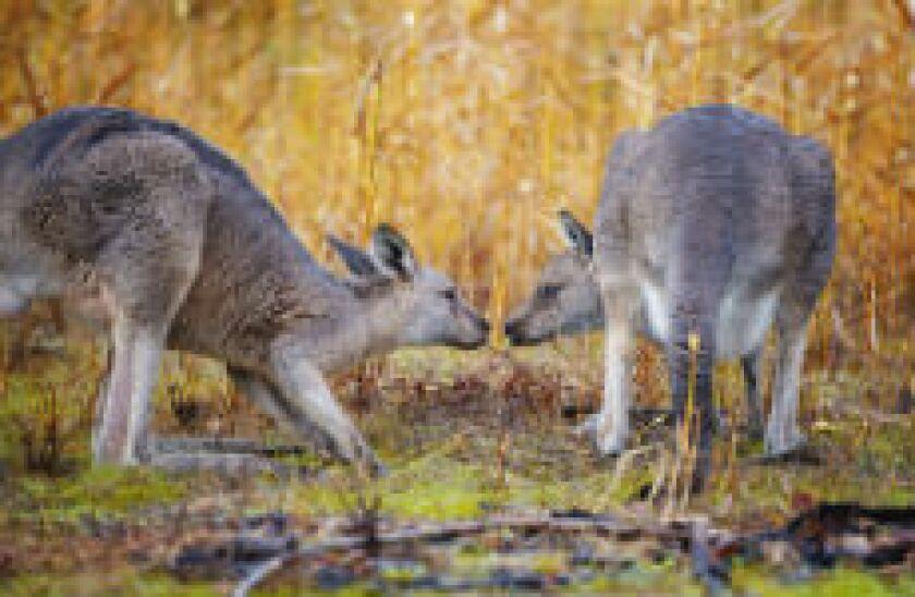 kangaroozzzzz