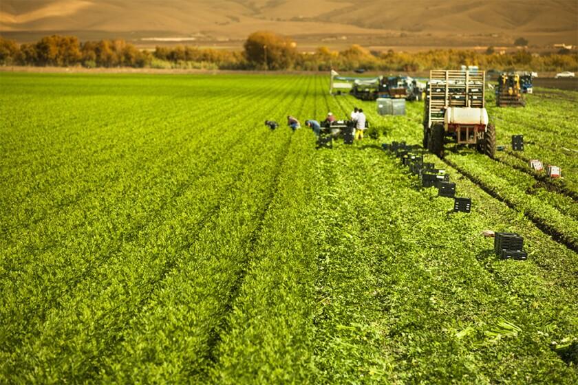 workers harvesting celery crop farm Salinas Valley, California USA.jpg