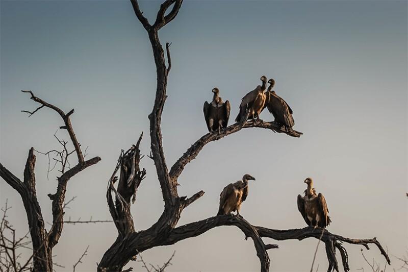 Vultures_780