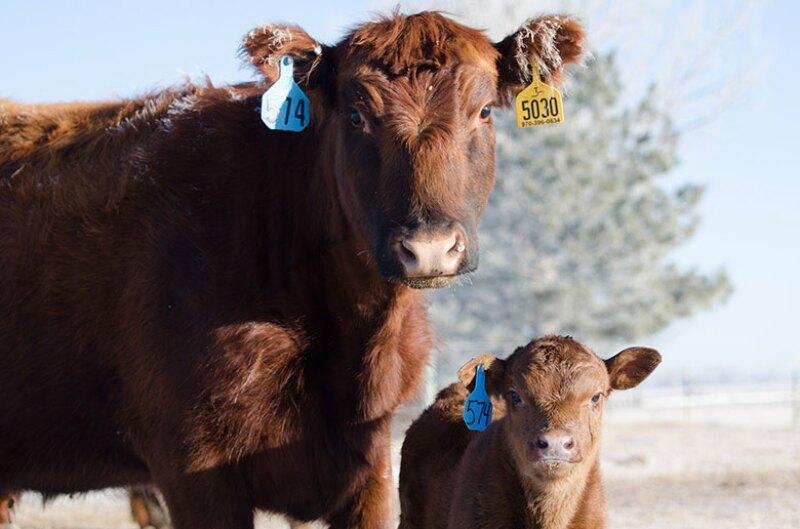 cows-calf-Angus-780.jpg