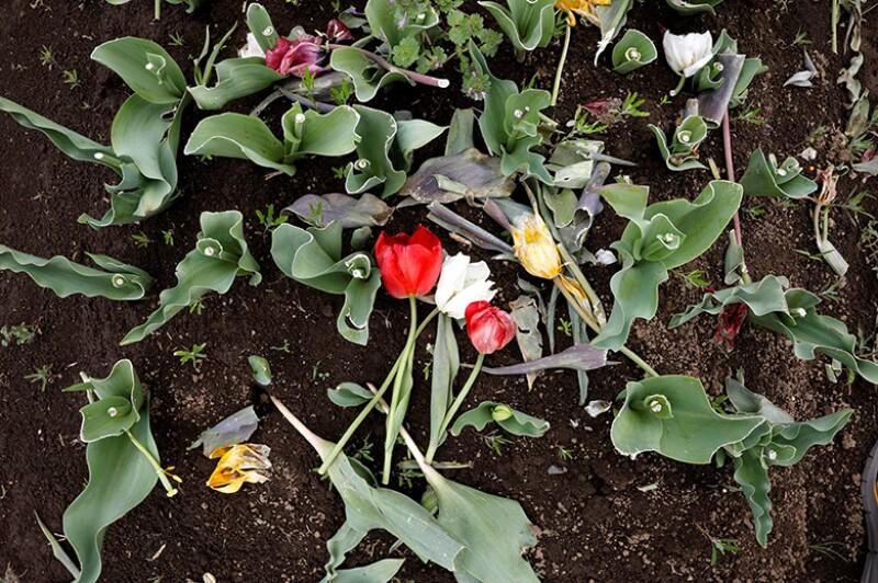 tulips-cut-R-780.jpg